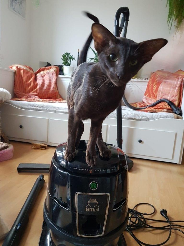 Zvědavá kočka navysavači hyla