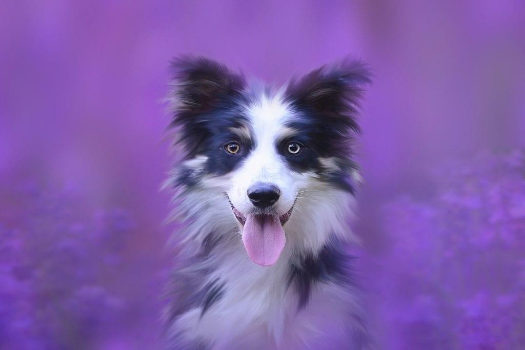 Psa nejlépe zklidníte levandulí zČisté pohody