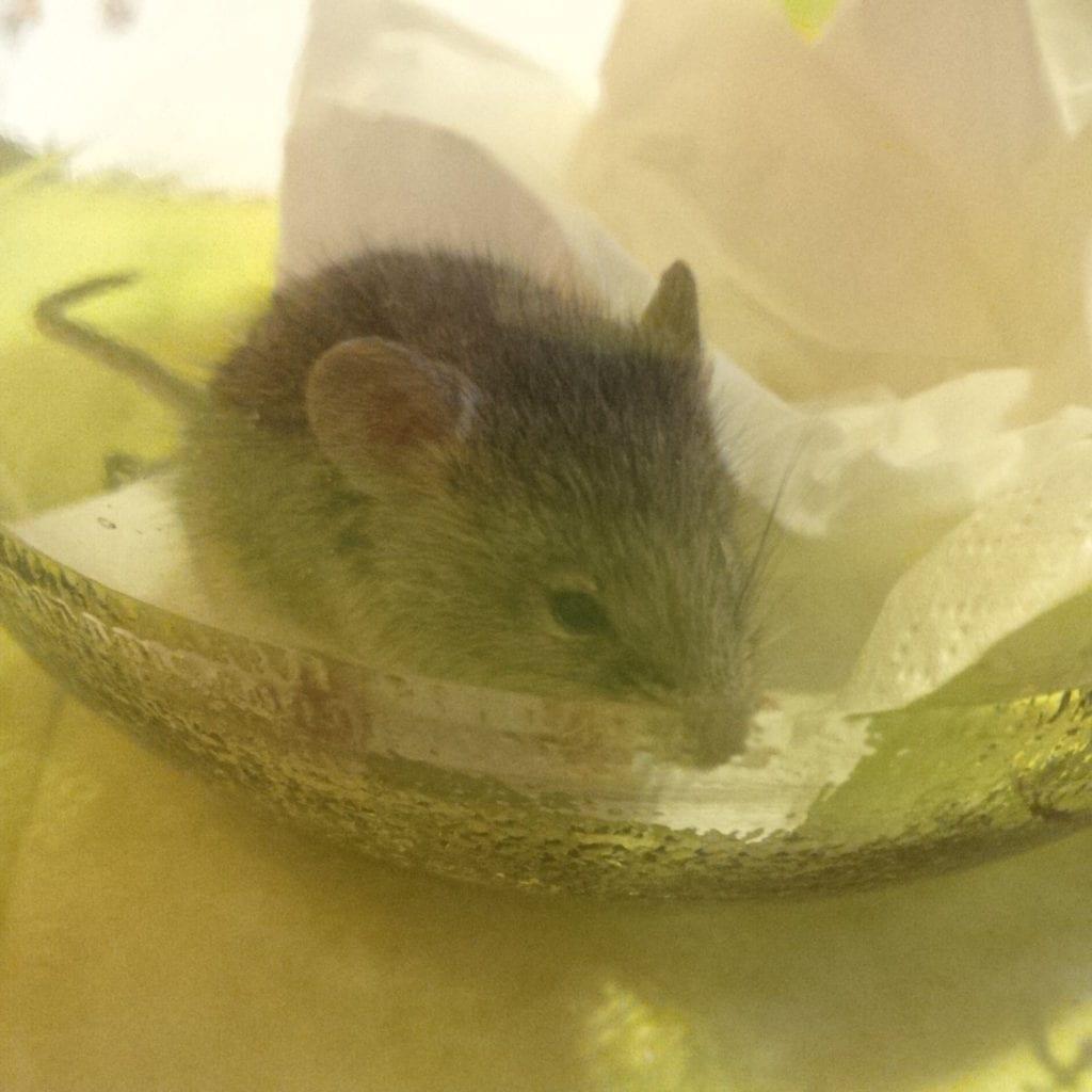 Myš chycená dosklenice