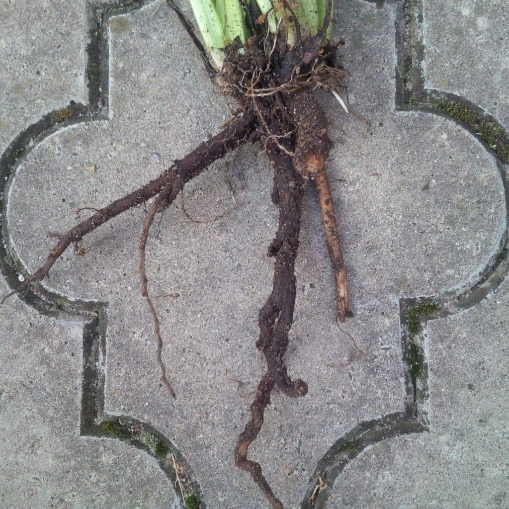 Čerstvě sklizený kostivalový kořen Čistá pohoda