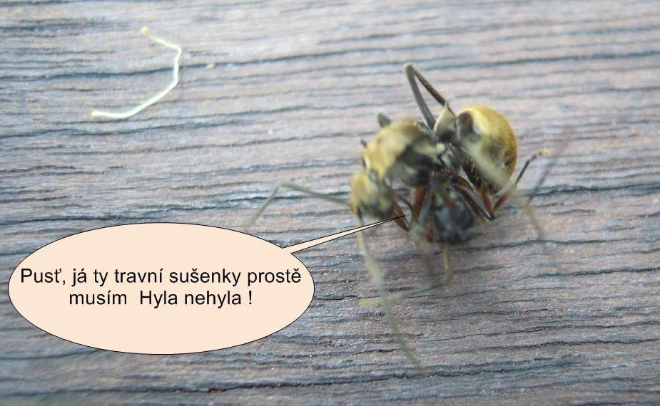 Mravenci spolu bojují naútěku před vysavačem Čistá pohoda
